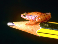 Borneotinypeasizedfrog